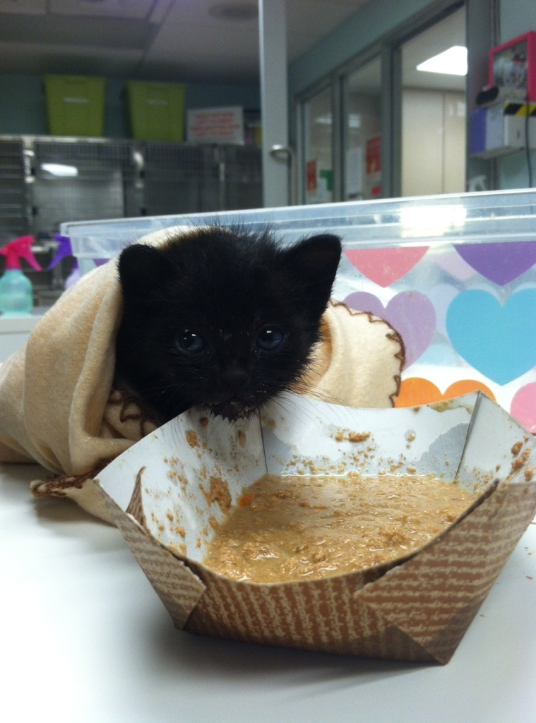 kitten - black